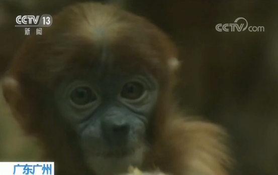 首只中国出生长鼻猴 体毛变色