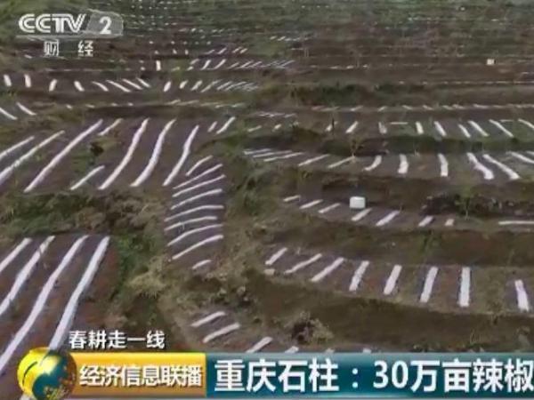 种3亩赚1万元一年收入12亿 人家种的这...