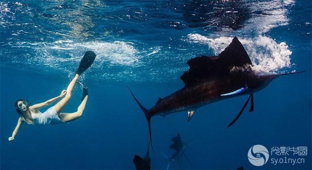 """摄影师Shawn Heinrichs与""""最性感女运动员""""Roberta Mancino合作完成了一组水下摄影作品,画面中Roberta与鲸鲨、蝠鲼、旗鱼等海底生物共舞,创作出一幅...(作者:Shawn Heinrichs"""